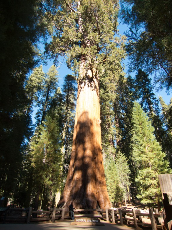 General Sherman, World's Largest Tree (Can you see me at the bottom?)